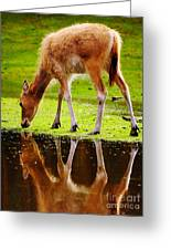 Along The Water Grazing Pere David's Deer Greeting Card