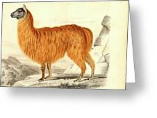 Alpaca Greeting Card by Collection Abecasis