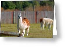 Alpaca Greeting Card by Rhonda Humphreys
