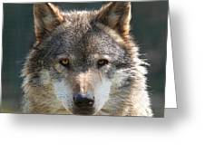 Alpha Male Wolf - I'm Watching You Greeting Card