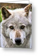 Alpha Male Wolf Greeting Card