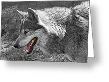 Alpha Male Wolf - You Look Tasty 2 Greeting Card