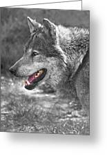 Alpha Male Wolf - You Look Tasty Greeting Card