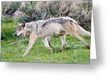 Alpha Wolf On The Move Greeting Card