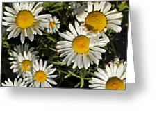 Alpine Daisies In Glacier National Park Greeting Card