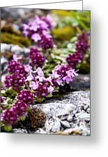 Alpine Thyme Greeting Card