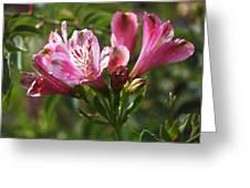 Alstroemeria Greeting Card