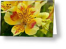 Alstroemerias Flower 1 Greeting Card