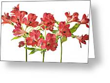 Alstromeria Greeting Card