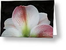 Amaryllis #3 Greeting Card