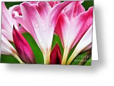 Amaryllis Flowers And Buds In The Rain Greeting Card