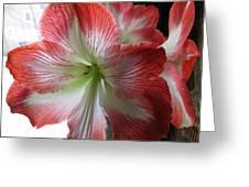 Amaryllis In Bloom Greeting Card