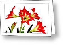 Amaryllis On White Greeting Card