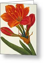 Amaryllis Purpurea Greeting Card