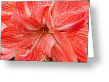 Amaryllis Undefined  Greeting Card