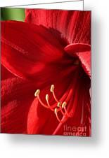 Amaryllis6782 Greeting Card