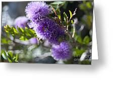 Amazing Purple Melaleuca  Greeting Card