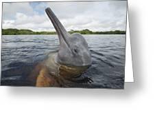 Amazon River Dolphin Spy-hopping Rio Greeting Card
