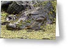 American Alligator Print Greeting Card