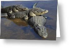 American Alligators In Shallows Florida Greeting Card
