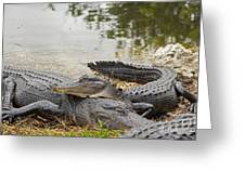 American Alligators Greeting Card