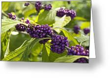American Beautyberry -callicarpa Americana Greeting Card