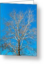 American Beech Greeting Card