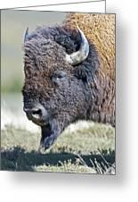 American Bison Closeup Greeting Card
