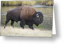 American Bison On The Madison River Greeting Card