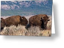 American Bison Trio Greeting Card