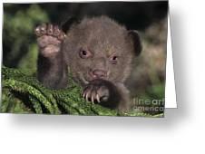 American Black Bear Cub Wildlife Rescue Greeting Card