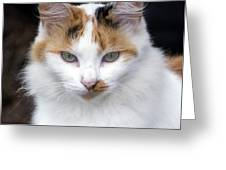 American Calico Cat Portrait Greeting Card