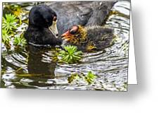 American Coot And Chick Greeting Card