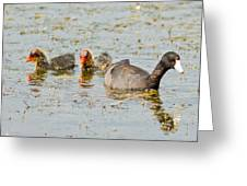American Coot And Chicks Greeting Card