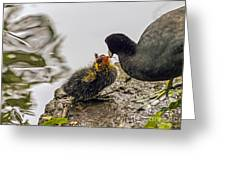 American Coot Feeding Chick Greeting Card