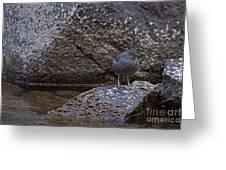American Dipper   #2488 Greeting Card
