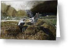 American Dipper Feeding Young Costa Rica Greeting Card