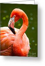 American Flamingo Jacksonville Zoo Florida Greeting Card