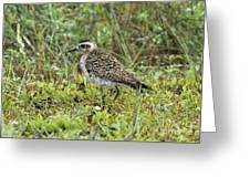 American Golden Plover Greeting Card