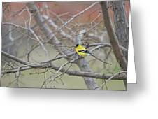 American Goldfinch 1 Greeting Card by Roger Snyder