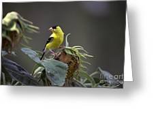 American Goldfinch 5 Greeting Card