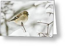 American Goldfinch Up Close  Greeting Card