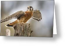 American Kestral Greeting Card