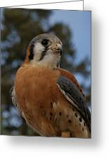 American Kestrel 4 Greeting Card