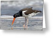 American Oystercatcher Feeding On Clam Greeting Card