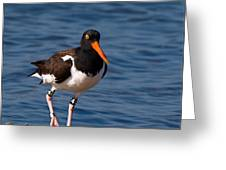 American Oystercatcher Greeting Card