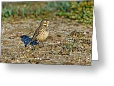 American Pipit Greeting Card