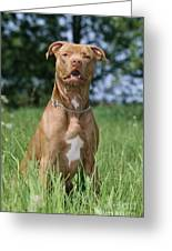 American Pit Bull Terrier Greeting Card