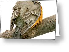 American Robin Male Animal Portrait Greeting Card