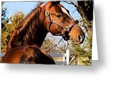 American Saddlebred Stallion Greeting Card